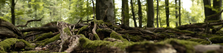 Äste und Wurzeln mit Moos liegen auf dem Waldboden